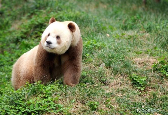 Xuất hiện bằng chứng đầu tiên cho thấy sự tồn tại của gấu trúc trắng - Ảnh 2.
