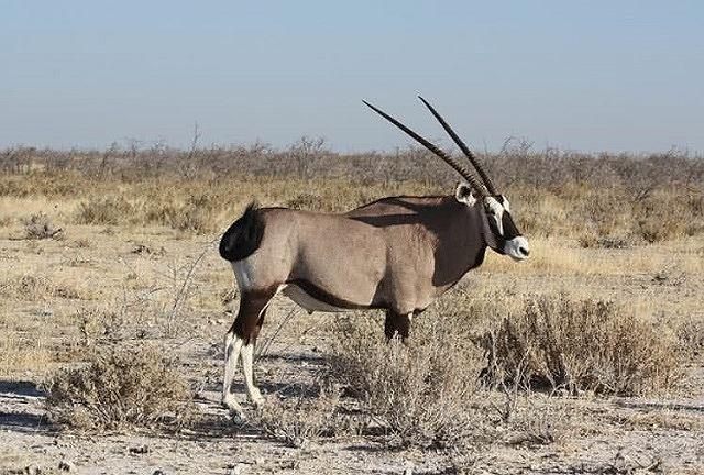 Top 10 bộ sừng và gạc đẹp nhất thế giới động vật - Ảnh 6.