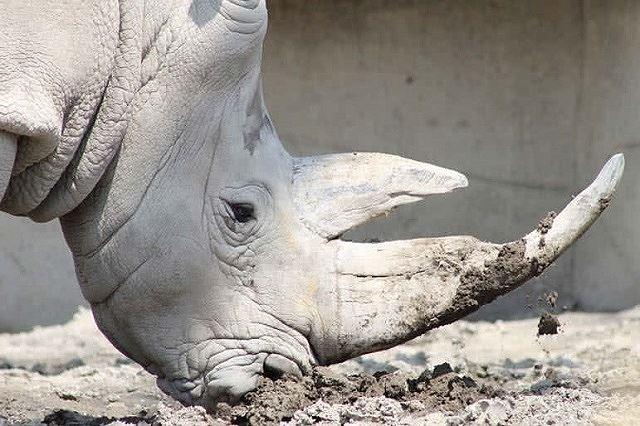 Top 10 bộ sừng và gạc đẹp nhất thế giới động vật - Ảnh 7.
