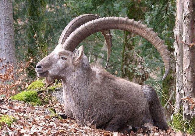 Top 10 bộ sừng và gạc đẹp nhất thế giới động vật - Ảnh 9.