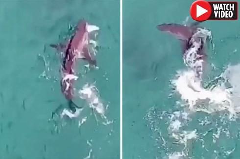 Cá mập trắng quẫy nước săn mồi, cách người đi bơi chỉ 20 mét - Ảnh 1.