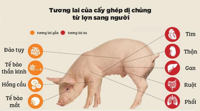 Các nhà khoa học đang thử nghiệm cấy nội tạng lợn biến đổi gen sang khỉ, sau đó sẽ đến lượt con người - Ảnh 2.