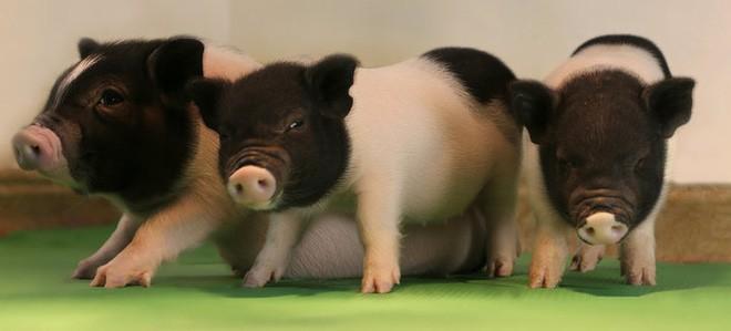 Các nhà khoa học đang thử nghiệm cấy nội tạng lợn biến đổi gen sang khỉ, sau đó sẽ đến lượt con người - Ảnh 3.