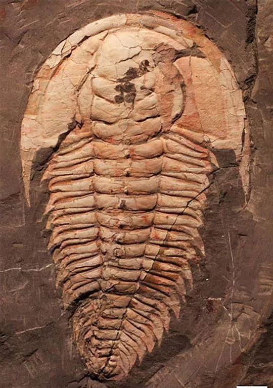 Phát hiện loài bọ bạo chúa có kích thước khổng lồ cách đây 500 triệu năm - Ảnh 6.