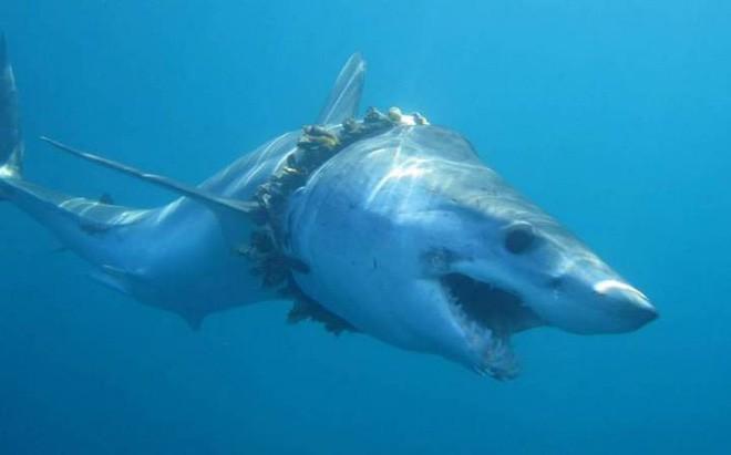 Túi nhựa, ngư cụ của con người đang trở thành mối đe dọa khủng khiếp đối với cuộc sống của loài cá mập - Ảnh 2.