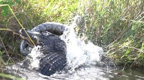 Cuộc chiến khốc liệt giữa cá sấu và trăn Miến Điện khổng lồ - Ảnh 1.