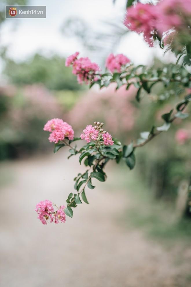 Chùm ảnh: Con đường ở Hà Nội được tạo nên bởi 100 gốc hoa tường vi đẹp như khu vườn cổ tích - Ảnh 13.