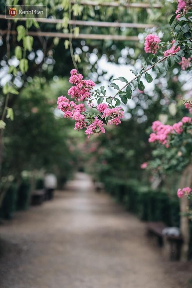 Chùm ảnh: Con đường ở Hà Nội được tạo nên bởi 100 gốc hoa tường vi đẹp như khu vườn cổ tích - Ảnh 4.