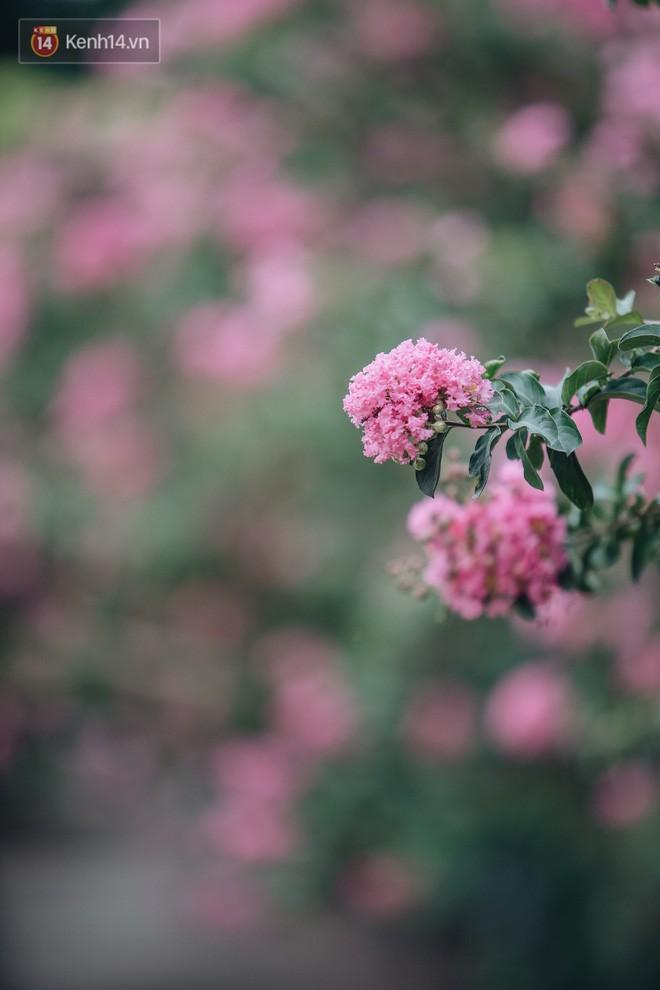 Chùm ảnh: Con đường ở Hà Nội được tạo nên bởi 100 gốc hoa tường vi đẹp như khu vườn cổ tích - Ảnh 6.