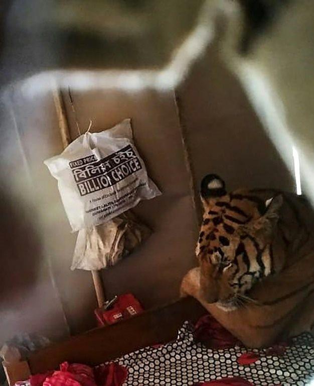 Hổ hoang dã Ấn Độ xông thẳng vào nhà dân leo lên giường náu mình tránh lũ - Ảnh 1.