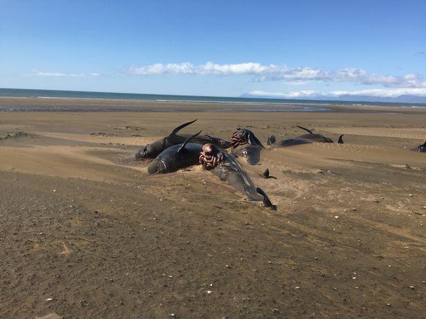 50 xác cá voi chết dạt vào bờ biển một cách bí ẩn khiến các nhà khoa học đau đầu tìm nguyên nhân - Ảnh 1.