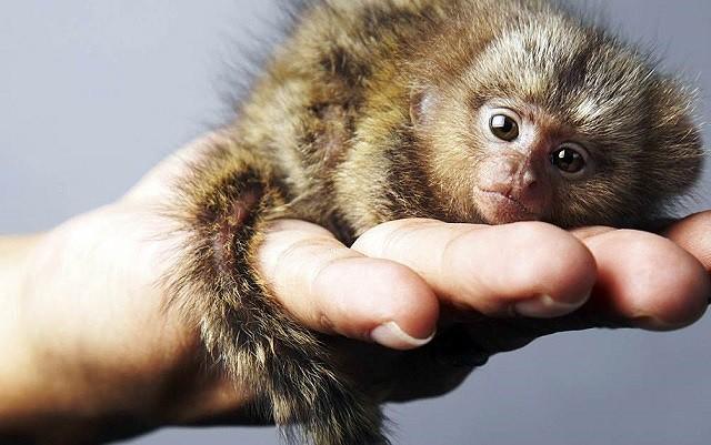 Mục sở thị loài khỉ nhỏ nhất thế giới - Ảnh 3.