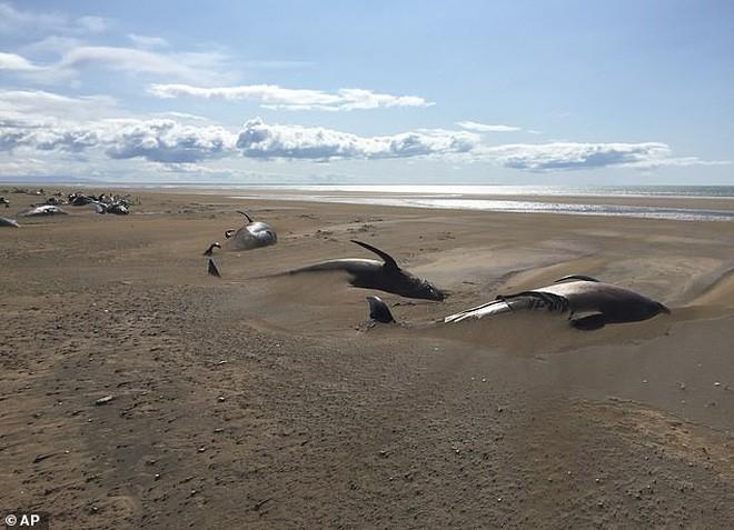 50 xác cá voi chết dạt vào bờ biển một cách bí ẩn khiến các nhà khoa học đau đầu tìm nguyên nhân - Ảnh 4.