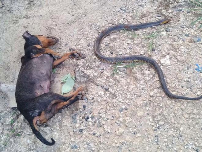 Video: Chú chó hi sinh thân mình, giết chết rắn độc bảo vệ cô chủ nhỏ khiến nhiều người cảm động - Ảnh 4.