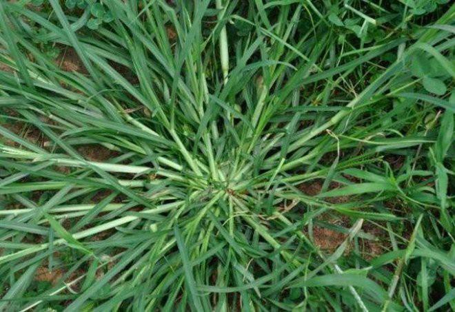 Loại cỏ rất quý nhưng ở Việt Nam chỉ cho bò ăn: Chuyên gia chỉ tác dụng ai biết cũng tiếc - Ảnh 1.