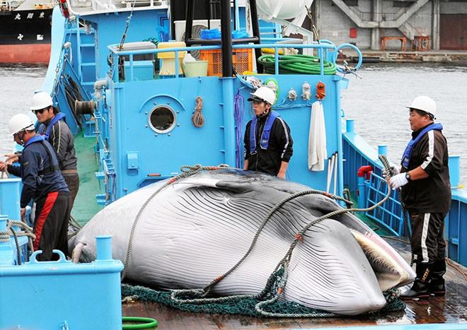 Sau 31 năm, Nhật Bản cho phép săn bắt cá voi thương mại trở lại: Bất chấp phản đối để nỗ lực hồi sinh ngành công nghiệp đang hấp hối? - Ảnh 4.