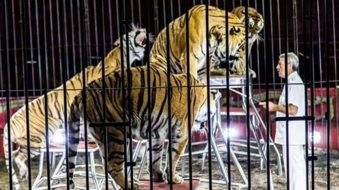 Nhà huấn luyện thú nổi tiếng thế giới bị 4 con hổ vồ chết, đồng nghiệp đứng nhìn 30 phút mà không thể cứu được - Ảnh 1.