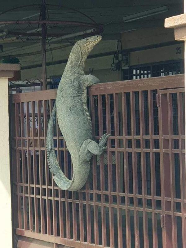 Kỳ đà to như cá sấu mò vào nhà dân gây sốc - Ảnh 2.