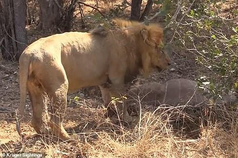 Sư tử đực phô diễn sức mạnh, hạ gục linh dương ngay trước mặt du khách - Ảnh 1.