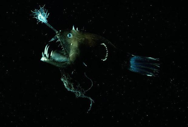 Cá lồng đèn: Tên dễ thương nhưng mặt thì không thương nổi và có những hành vi đáng sợ nhất đại dương - Ảnh 1.