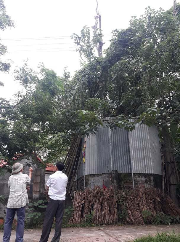 Cả làng quây tôn, dựng chốt bảo vệ cây sưa 22 tỷ ở Vĩnh Phúc - Ảnh 1.