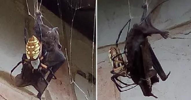Nephila Clavipes - Loài nhện khổng lồ có thể tóm gọn cả con dơi chỉ trong một nốt nhạc - Ảnh 1.