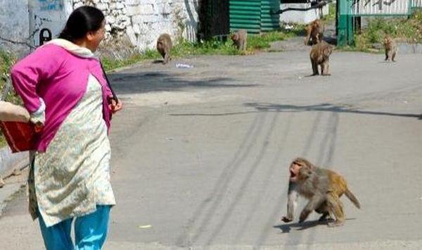Từ cuối năm ngoái trở lại đây, tình trạng loài linh trưởng tấn công người dân tại tiểu bang Uttar Pradesh bỗng xảy ra và ngày một nghiêm trọng. Ảnh: India.com.