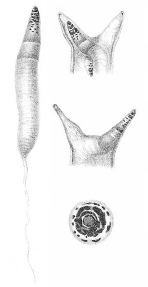 Tiết lộ kinh ngạc về loài giun ký sinh biến ốc sên thành zombie - Ảnh 2.