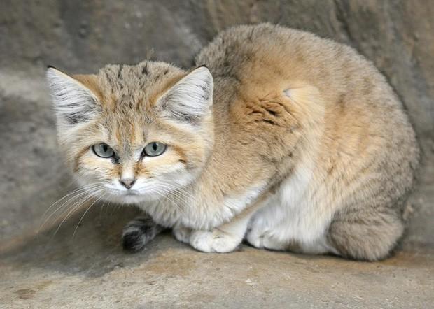 Mèo cát Ả Rập - loài mèo tàng hình lần đầu tiên xuất hiện trước ống kính máy ảnh sau 10 năm vắng bóng - Ảnh 1.