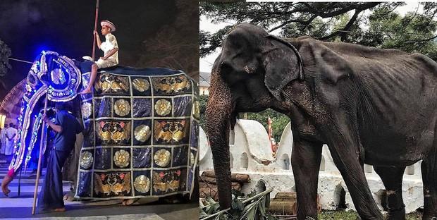 Cụ voi 70 tuổi gầy trơ xương tại lễ hội Sri Lanka đã qua đời: Làn sóng phẫn nộ về nạn bạo hành động vật đến cùng cực - Ảnh 1.
