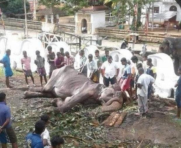 Cụ voi 70 tuổi gầy trơ xương tại lễ hội Sri Lanka đã qua đời: Làn sóng phẫn nộ về nạn bạo hành động vật đến cùng cực - Ảnh 2.
