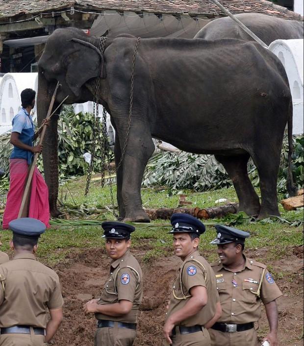 Cụ voi 70 tuổi gầy trơ xương tại lễ hội Sri Lanka đã qua đời: Làn sóng phẫn nộ về nạn bạo hành động vật đến cùng cực - Ảnh 4.