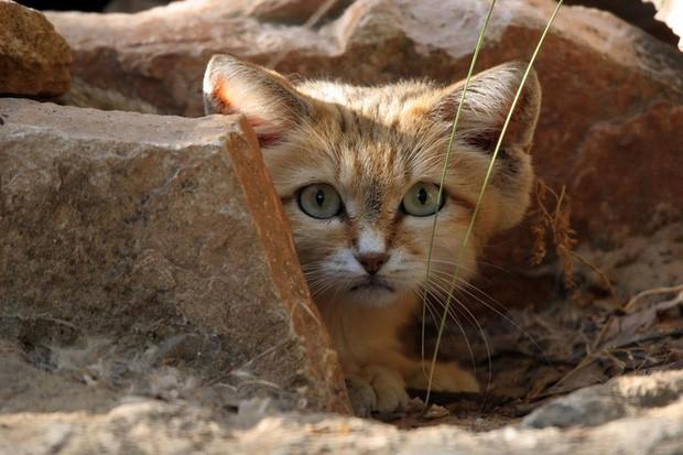 Mèo cát Ả Rập - loài mèo tàng hình lần đầu tiên xuất hiện trước ống kính máy ảnh sau 10 năm vắng bóng - Ảnh 3.
