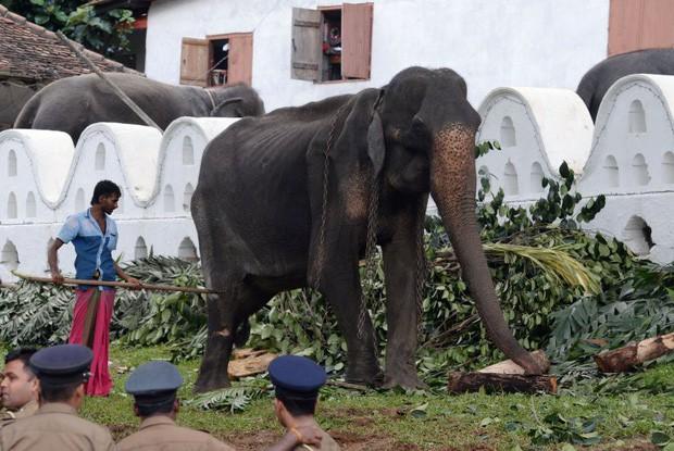 Cụ voi 70 tuổi gầy trơ xương tại lễ hội Sri Lanka đã qua đời: Làn sóng phẫn nộ về nạn bạo hành động vật đến cùng cực - Ảnh 5.