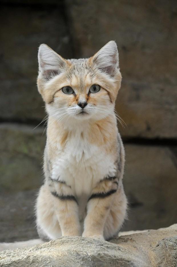 Mèo cát Ả Rập - loài mèo tàng hình lần đầu tiên xuất hiện trước ống kính máy ảnh sau 10 năm vắng bóng - Ảnh 7.
