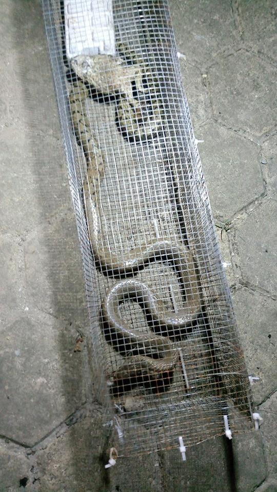 Dân phản ánh rắn hổ mang phi thân ra mổ người đi xe máy tại khu chung cư ở Hà Đông - Ảnh 7.