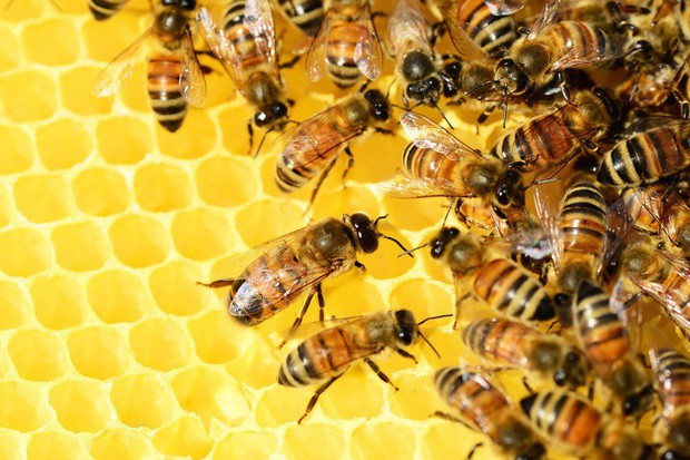 Ong mật trên thế giới đang có nguy cơ tuyệt chủng cực lớn và đây là lý do chúng ta không thể để điều đó xảy ra - Ảnh 2.