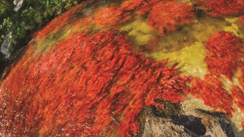 """Độc đáo """"dòng sông 5 màu"""" ở Colombia - Ảnh 4."""