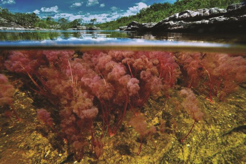 """Độc đáo """"dòng sông 5 màu"""" ở Colombia - Ảnh 7."""