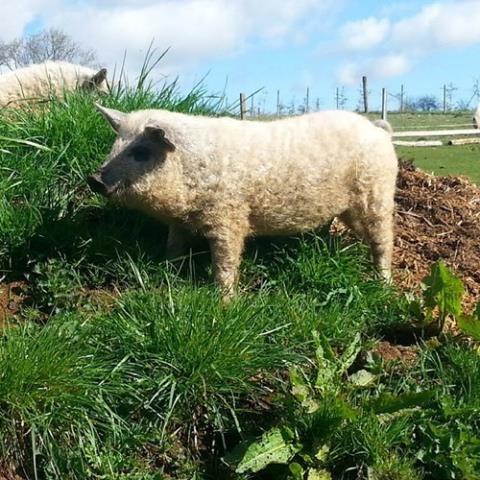 Cận cảnh lợn lông xù quý hiếm nhất thế giới - Ảnh 1.