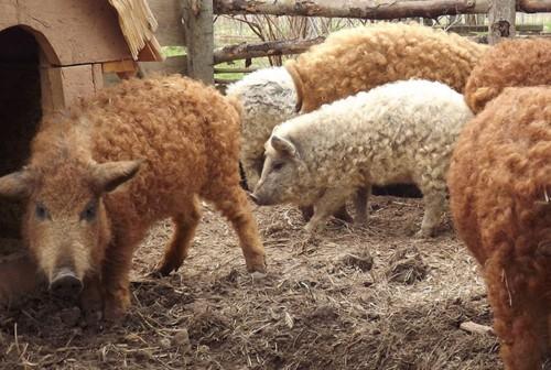 Cận cảnh lợn lông xù quý hiếm nhất thế giới - Ảnh 3.