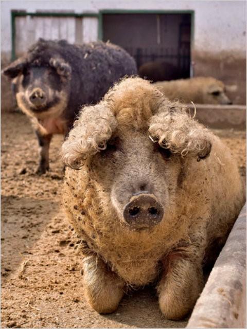 Cận cảnh lợn lông xù quý hiếm nhất thế giới - Ảnh 5.