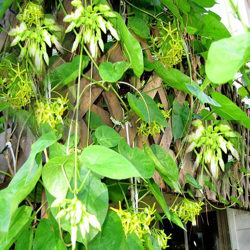Là cây cảnh, lá và hoa của cây này làm thuốc dưỡng thận - bổ dương, phòng ung thư rẻ tiền - Ảnh 1.