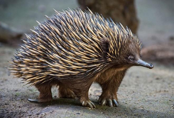Loài nhím tiến hóa một cách kỳ lạ để tồn tại được trước những vụ cháy rừng - Ảnh 1.