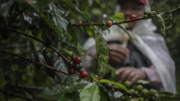 Đằng sau cái giá 41 triệu đồng/kg của vàng đen Elida Geisha: Loại cafe cực khó chăm, chỉ ngon nếu trồng ở một loại đất đặc biệt - Ảnh 1.