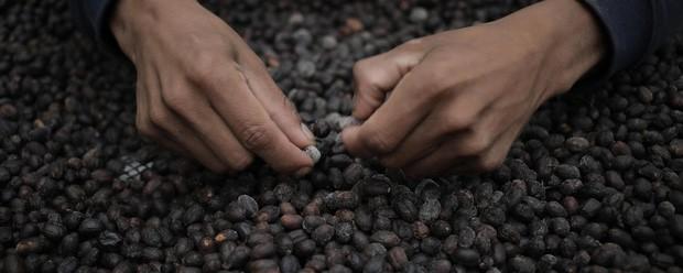 Đằng sau cái giá 41 triệu đồng/kg của vàng đen Elida Geisha: Loại cafe cực khó chăm, chỉ ngon nếu trồng ở một loại đất đặc biệt - Ảnh 2.