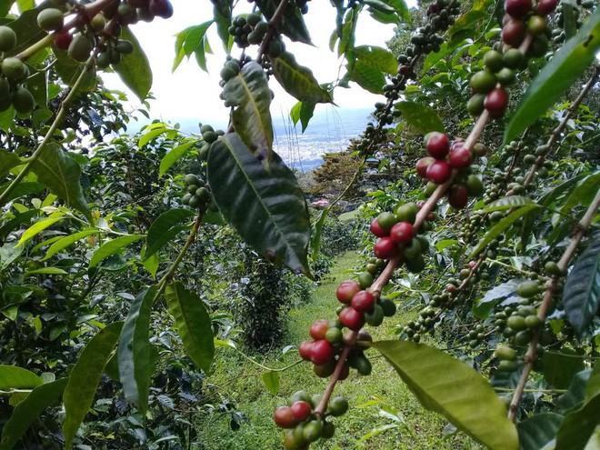Đằng sau cái giá 41 triệu đồng/kg của vàng đen Elida Geisha: Loại cafe cực khó chăm, chỉ ngon nếu trồng ở một loại đất đặc biệt - Ảnh 6.