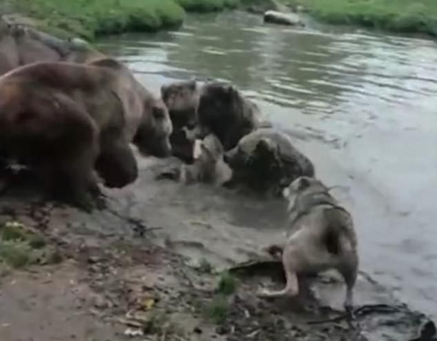 Đúng ngày khó ở, 4 con gấu lớn hùa nhau giết chết hàng xóm sống chung chuồng - Ảnh 1.