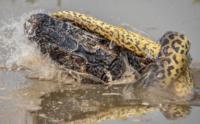 24h qua ảnh: Trăn khổng lồ quyết chiến với cá sấu dưới đầm lầy - Ảnh 5.