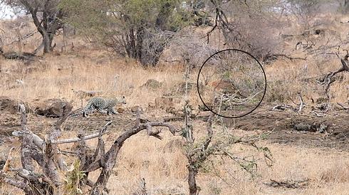 Chuyến đi săn đầu tiên của chú báo đốm con và kết quả bất ngờ - Ảnh 1.